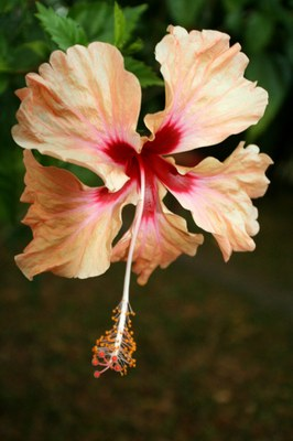 Hibiscus flower from Costa Rica